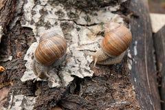 Hélice de deux escargots de Bourgogne, escargot romain, escargot comestible, escargot Photographie stock libre de droits