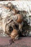 Hélice de deux grande escargots de Bourgogne, escargot romain, escargot comestible, escar Image libre de droits