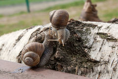 Hélice de deux grande escargots de Bourgogne, escargot romain, escargot comestible, escar Photo libre de droits