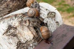 Hélice de deux grande escargots de Bourgogne, escargot romain, escargot comestible, escar Photographie stock