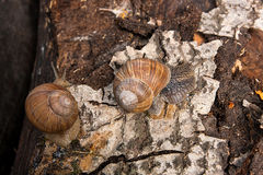 Hélice de dois caracóis de Borgonha, caracol romano, caracol comestível, escargot imagem de stock