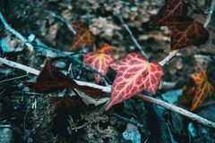 Hélice de hedera colorida outono imagem de stock
