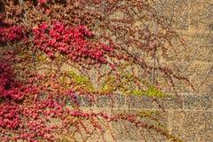 Hélice de hedera verde o hiedra inglesa común Fotografía de archivo