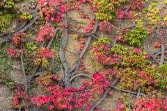 Hélice de hedera verde o hiedra inglesa común Fotos de archivo