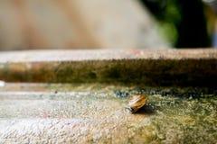 Hélice do caracol, caracol romano, caracol comestível, escargot no frasco velho S fotografia de stock royalty free
