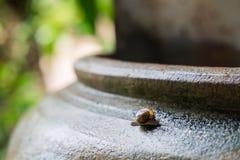 Hélice do caracol, caracol romano, caracol comestível, escargot no frasco velho S imagem de stock royalty free