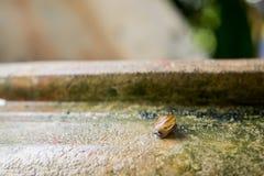 Hélice do caracol, caracol romano, caracol comestível, escargot no frasco velho S fotos de stock