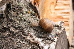 Hélice do caracol de Borgonha, caracol romano, caracol comestível, papo do escargot fotos de stock royalty free