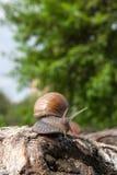 Hélice do caracol de Borgonha, caracol romano, caracol comestível, papo do escargot imagens de stock