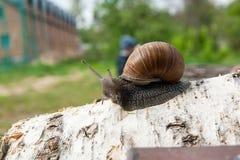 Hélice do caracol de Borgonha, caracol romano, caracol comestível, papo do escargot foto de stock