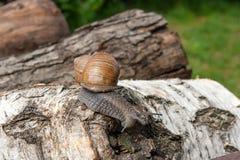 Hélice do caracol de Borgonha, caracol romano, caracol comestível, papo do escargot imagem de stock