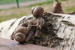 Hélice grande de dois caracóis de Borgonha, caracol romano, caracol comestível, escar foto de stock royalty free