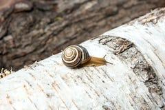 Hélice vívida pequena do caracol de Borgonha, caracol romano, caracol comestível, es foto de stock