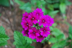 Héliotrope de jardin rose fleurissant en fleur image stock