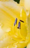 Hémérocalle jaune photos libres de droits