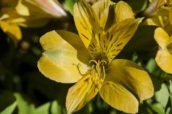 Hémérocalle jaune au soleil photos stock