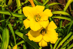 Hémérocalles jaunes Photographie stock libre de droits