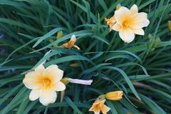 Hémérocalles jaunes dans le Hemerocallis de fleur Photo libre de droits