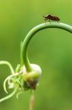 Hémiptère sauvage de mouche Images stock