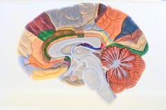Hémisphère cérébraux. Photo libre de droits