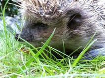 Hérisson étroit dans l'herbe verte Photos stock