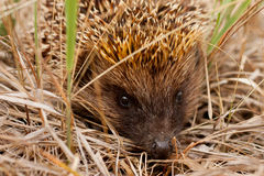 Hérisson dans l'herbe Photo libre de droits