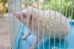 Hérisson dans la cage Photo libre de droits