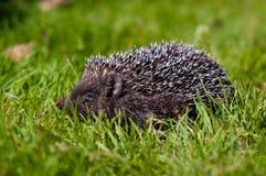 Hérisson dans une herbe Image libre de droits