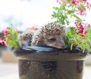 Hérisson deux en fleurs de pot Image libre de droits