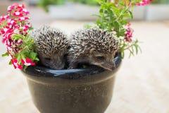 Hérisson deux en fleurs de pot Photos stock