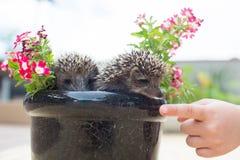 Hérisson deux en fleurs de pot Image stock