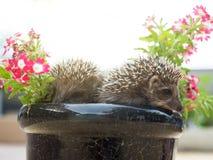 Hérisson deux en fleurs de pot Photo libre de droits