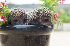 Hérisson deux en fleurs de pot Images libres de droits