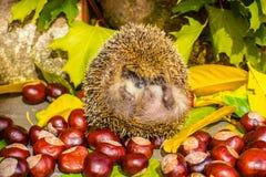 Hérisson et d'automne toujours vie des châtaignes et des feuilles sous images stock