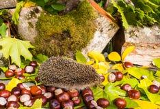 Hérisson et d'automne toujours vie des châtaignes et des feuilles sous photographie stock libre de droits