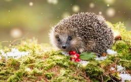 Hérisson européen indigène en hiver avec les baies rouges, la neige et la mousse verte photographie stock libre de droits