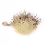 Hérisson gonflé de poissons sur le fond blanc d'isolement image stock