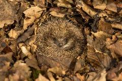 Hérisson hibernant dans des feuilles d'automne brunes d'or image stock