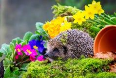 Hérisson, hérisson sauvage, indigène, européen dans le printemps avec les fleurs colorées photos stock