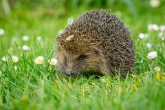 Hérisson, hérisson sauvage, indigène, européen sur la pelouse d'herbe verte dans le printemps image stock