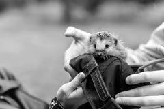 Hérisson se reposant dans les mains Photographie stock libre de droits
