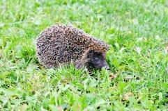 Hérisson sur l'herbe verte Image libre de droits