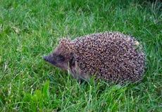 Hérisson sur l'herbe verte photos libres de droits