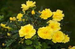 Héritage jaune rosier en pleine floraison photos stock