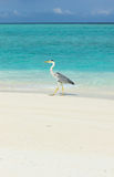 Héron à la plage Images libres de droits
