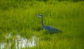 Héron égrappant dans l'herbe Photo libre de droits