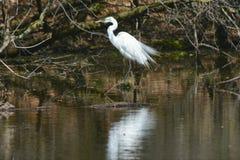 Héron américain patrouillant le long du bord d'étang Photo libre de droits