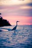 Héron au coucher du soleil, Maldives Photos stock