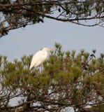 Héron blanc Photo libre de droits