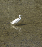 Héron blanc Photos libres de droits